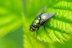 Die grüne Fliege Stockbilder