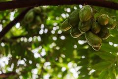 Die grüne Frucht von Bilimbi, Bilimbing, Gurkenbaum, Baumsauerampfer ( Averrhoa bilimbi stockfotografie