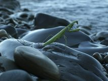 Die grüne Gottesanbeterin auf einem Stein stockfotos