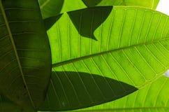 Die grüne Hintergrundbeleuchtung Stockbilder