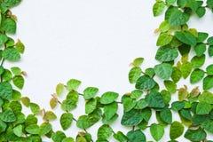Die grüne Kriechpflanze-Anlage auf der Wand Lizenzfreies Stockfoto