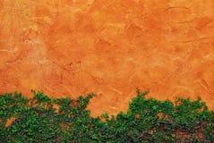 Die grüne Kriechpflanze-Anlage auf roter Wand Stockfotos
