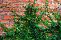 Die grüne Kriechpflanze-Anlage auf roter Wand Lizenzfreie Stockfotografie