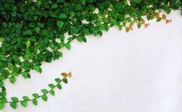 Die grüne Kriechpflanze-Anlage auf Wand Stockfotos