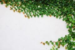 Die grüne Kriechpflanze-Anlage auf Wand Lizenzfreie Stockfotografie