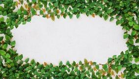 Die grüne Kriechpflanze-Anlage auf Wand lizenzfreie stockfotos