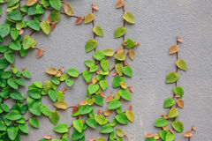Die grüne Kriechpflanzeanlage Lizenzfreie Stockfotografie
