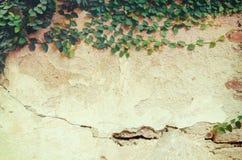 Die grüne Kriechpflanzen-Anlage auf einer Backsteinmauer stellt eine schöne Weinlese her Lizenzfreie Stockfotografie