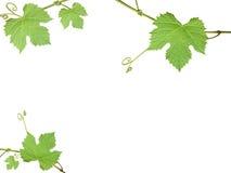 Die grüne Traube verlässt auf einem weißen Hintergrund stockfotografie