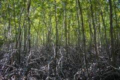 Die grüne Waldmangrove bei Pranburi Forest Park Lizenzfreie Stockfotos