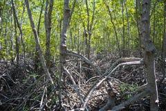 Die grüne Waldmangrove bei Pranburi Forest Park Stockbilder
