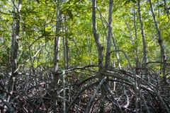 Die grüne Waldmangrove bei Pranburi Forest Park, Prachuap Khiri Khan, Thailand Stockbilder