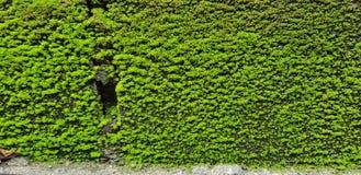 Die grüne Wand lizenzfreie stockbilder