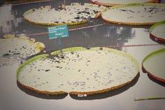 Die grüne Wasserpflanze Stockbild
