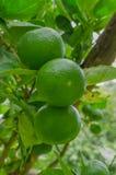 Die grüne Zitrone bereit zur Ernte stockbild