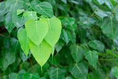 Die grünen bodhi Blätter Stockfoto