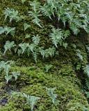 Die grünen Farne, die aus grünem Moos heraus wachsen, bedeckten Klotz Lizenzfreies Stockbild