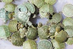 Die grünen geschälten Rot-Ohr Schildkröten Lizenzfreies Stockbild
