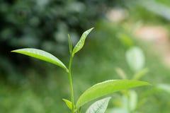 Die grünen Teeblätter lizenzfreie stockfotos