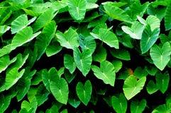 Die grünen Wasserbrotwurzelblätter Stockfoto