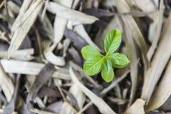 Die Grünpflanze, die auf den Toten wächst, verlässt aus den Grund Lizenzfreies Stockbild