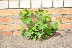 Die Grünpflanze, die auf dem Asphalt gegen bri wächst Lizenzfreie Stockfotografie