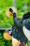 Die Grau gekrönten Kräne ist der nationale Vogel von Uganda Stockbilder