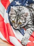 Die graue gestreifte Katze steht patriotisch auf der Stern-gestreiften amerikanischen Flagge still stockfoto