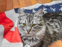 Die graue gestreifte Katze steht patriotisch auf der Stern-gestreiften amerikanischen Flagge still stockfotos