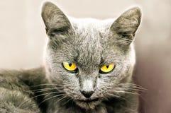 Die graue Katze Stockfotografie