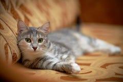 Die graue Katze mit grünen Augen liegt auf einem Sofa. Stockfotografie