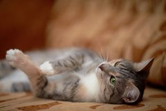Die graue Katze mit grünen Augen liegt auf einem Sofa. Lizenzfreie Stockfotos
