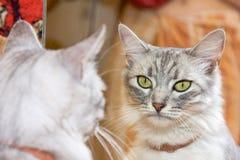 Die graue Katze schaut im Spiegel Stockfotografie