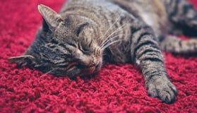 Die graue Katze schläft bequem auf einem roten Teppich stockfotografie