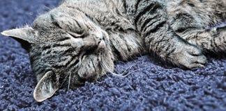 Die graue Katze schläft bequem auf einem Teppich lizenzfreie stockfotografie