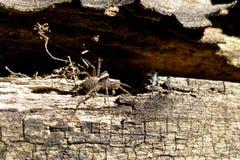 Die graue Spinne lauerte auf der Baumrinde nahe dem Bau Stockfotos