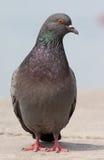 Die graue Taube Stockbild