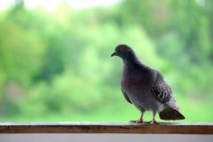 Die graue Taube steht auf einer Holzleiste mit einem grünen Hintergrund lizenzfreies stockbild