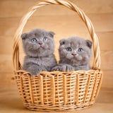 Die grauen Farbescottish-Faltenkatzen sitzt in einem Weidenkorb Spielerische Kätzchen Katzenfutterförderung Stockfoto