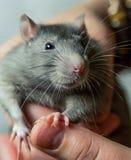 Die grauen Ratten, die mit einem schlauen Blick und langen Schnurrbartblicken in die Kamera groß sind, sitzt auf dem Arm stockfotografie