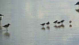 Die grauen Vögel, die im Wasser stehen Stockbild