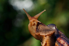 Die große Achatina-Schnecke Stockfotos