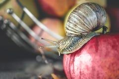 Die große Achatina-Schnecke, die auf rotes Apple auf einem Hintergrund von Äpfeln kriecht Lizenzfreies Stockbild