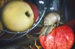 Die große Achatina-Schnecke, die auf rotes Apple auf einem Hintergrund von Äpfeln kriecht Stockbild