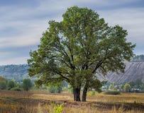 Die große alte einsame Eiche auf einer Wiese Lizenzfreie Stockfotografie