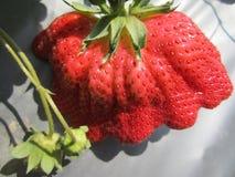 Die große Erdbeere in Taiwan lizenzfreies stockbild