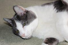 Die große graue und weiße Katze, die auf seiner Seite auf einem blassen liegt, gren Teppich Lizenzfreies Stockbild