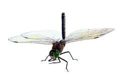 Die große Libelle, getrennt auf einem weißen Hintergrund Stockbild