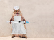 Die große rauhaarige Katze ist sehr lustige Stellung Konzept von Medizin 8 Lizenzfreies Stockfoto