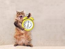 Die große rauhaarige Katze ist sehr lustige Stellung Uhr 11 Lizenzfreies Stockfoto